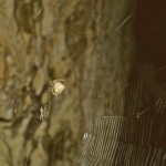 Araneus cavaticus female in her web