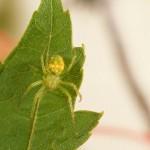Araneus cingulatus female