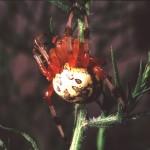 Araneus marmoreus female