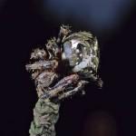 Araneus nordmanni female