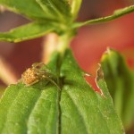 Araneus partitus subadult female