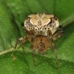 Araneus pegnia female