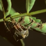 Araneus saevus female
