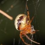 Araneus thaddeus female