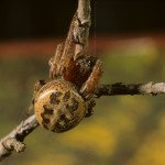 Larinioides cornutus female