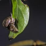 Ocrepeira ectypa female