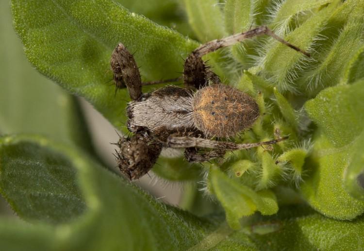 male Neoscona crucifera resting