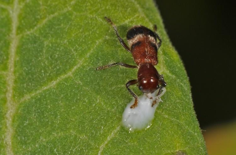 checkered beetle Enoclerus rosmarus