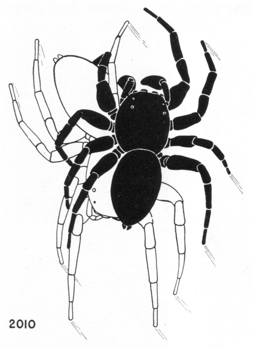 mating position of the jumping spider Phidippus clarus (from Kaston's Spiders of Connecticut)