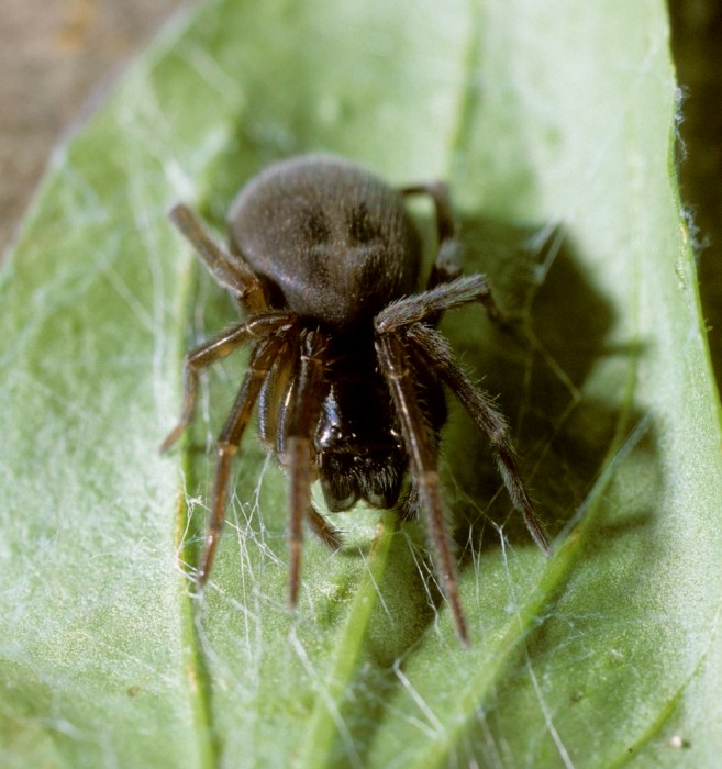Amaurobius ferox female