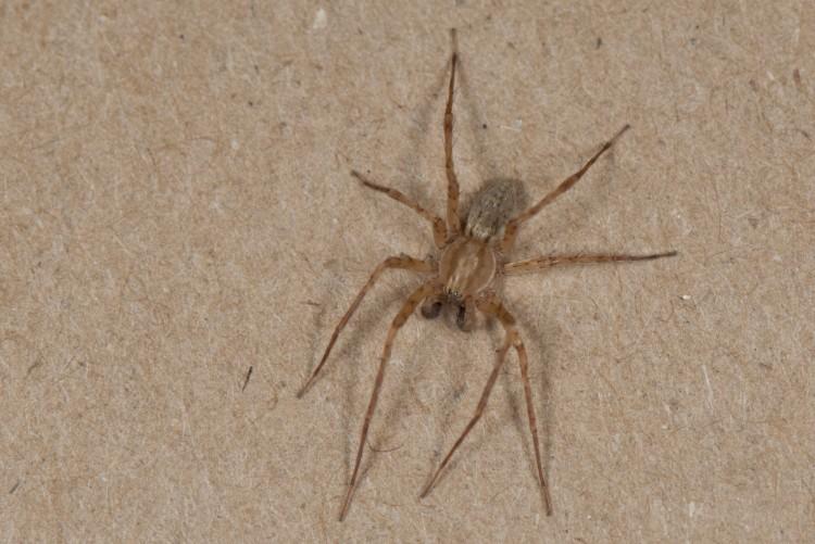 Anyphaena pectorosa adult male