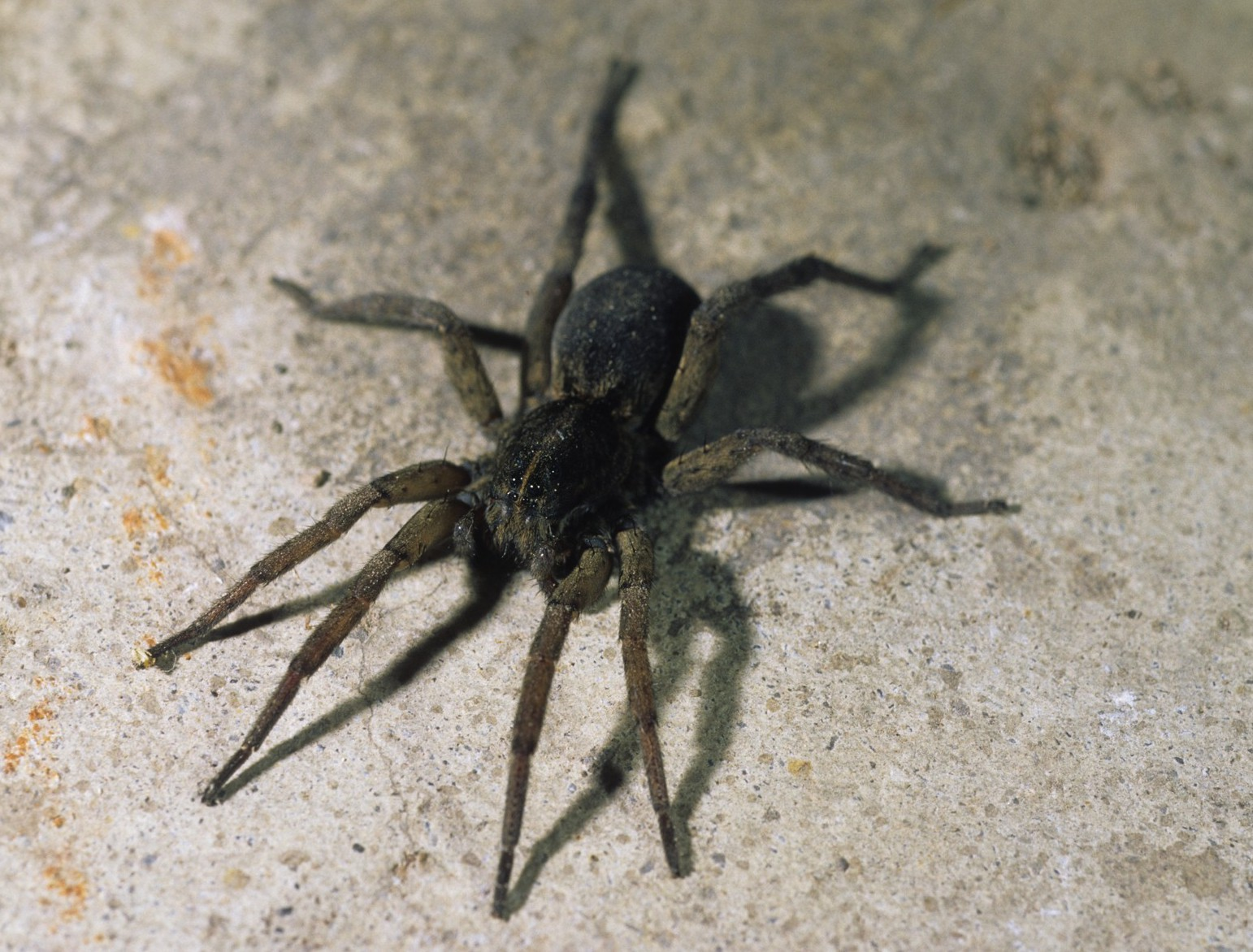 N Spiders wolf spiders (F...