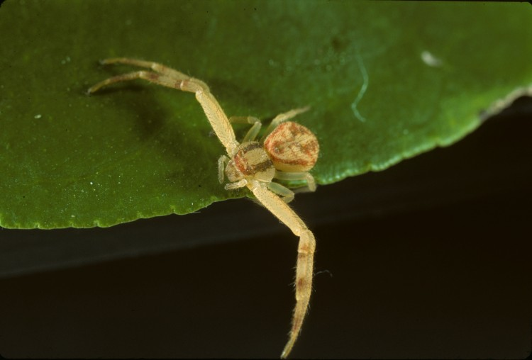 Mecaphesa asperata immature female