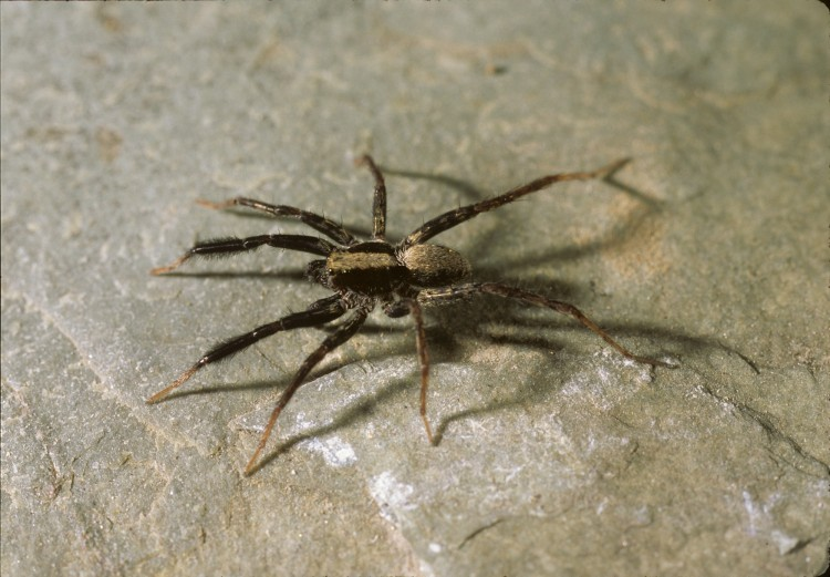brush-legged wolf spider Schizocosa ocreata male