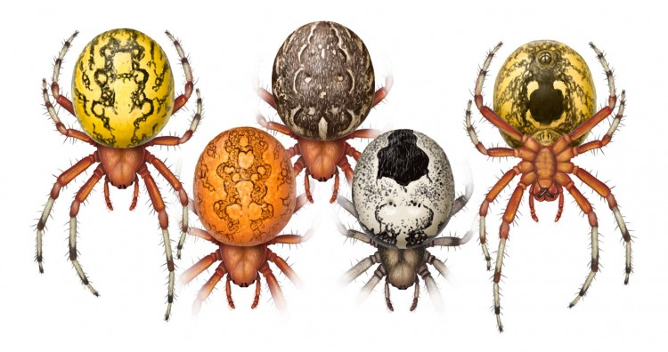 various color forms of Marbled Orbweaver