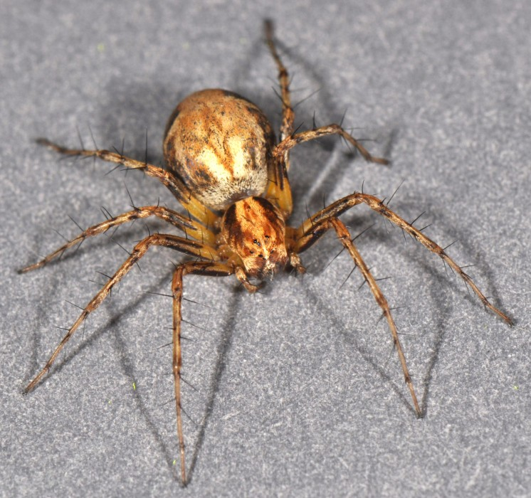 Oxyopes scalaris female