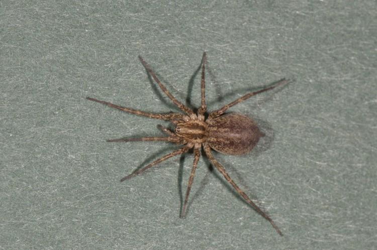 Agelenopsis utahana female