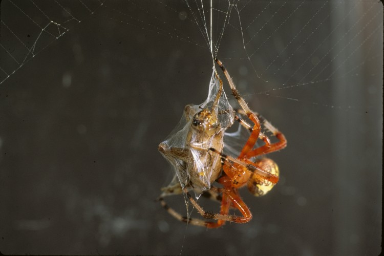 Marbled Orbweaver biting a cricket on its underside, shot in captivity