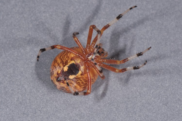 underside of Marbled Orbweaver