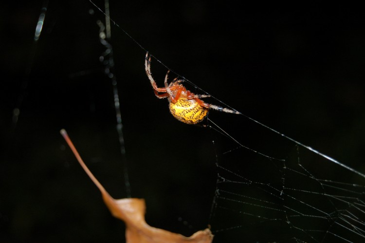 female Marbled Orbweaver climbing back into her retreat