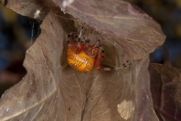 orange color form of Marbled Orbweaver in her retreat