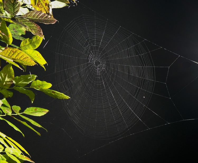 web of Marbled Orbweaver