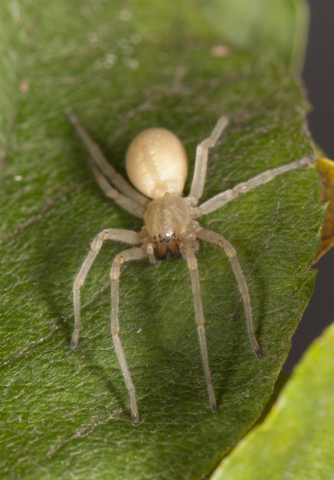 Yellow Sac Spider (Cheiracanthium mildei) female