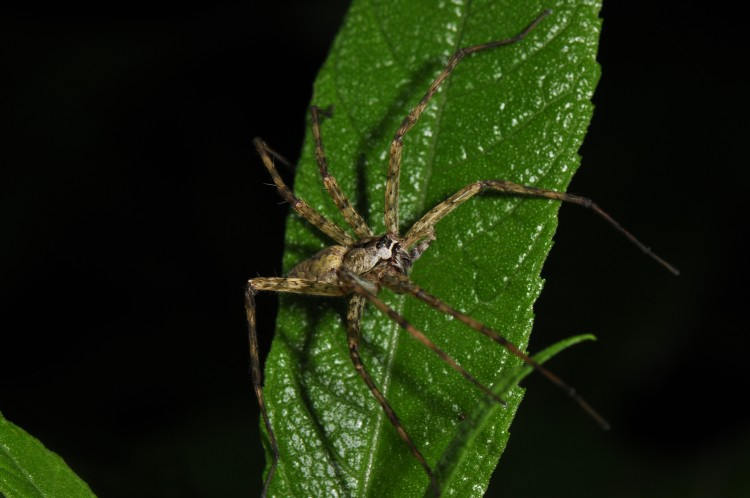 fishing spider (Dolomedes stratus) adult male