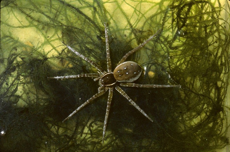 fishing spider (Dolomedes triton) female