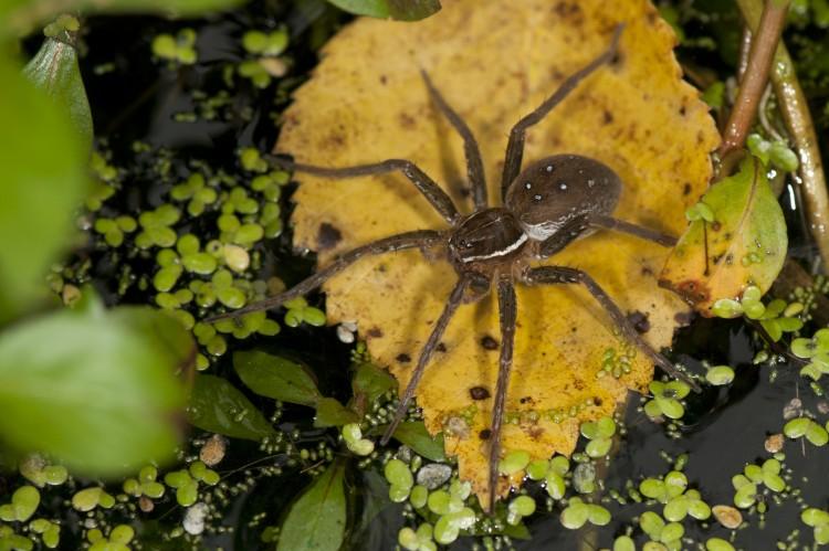 fishing spider (Dolomedes triton) female