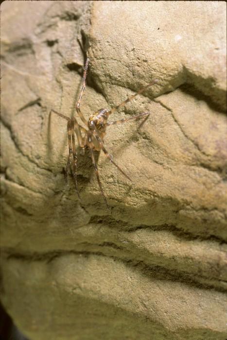Cave Orbweaver (Meta ovalis)