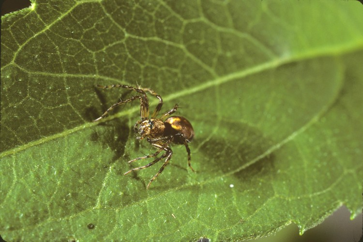 western lynx spider (Oxyopes scalaris) subadult female
