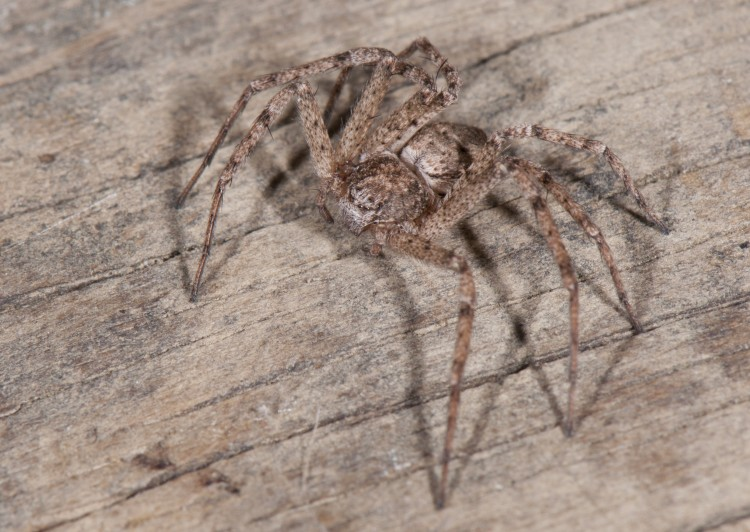 Philodromus vulgaris female