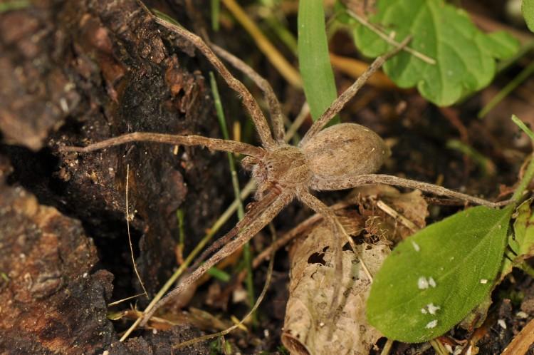 nurseryweb spider (Pisaurina mira) plain colored female