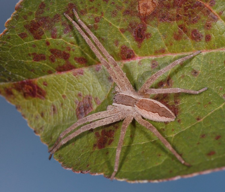 nurseryweb spider (Pisaurina mira) typical female