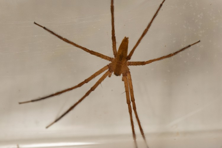 nurseryweb spider (Pisaurina mira) adult male