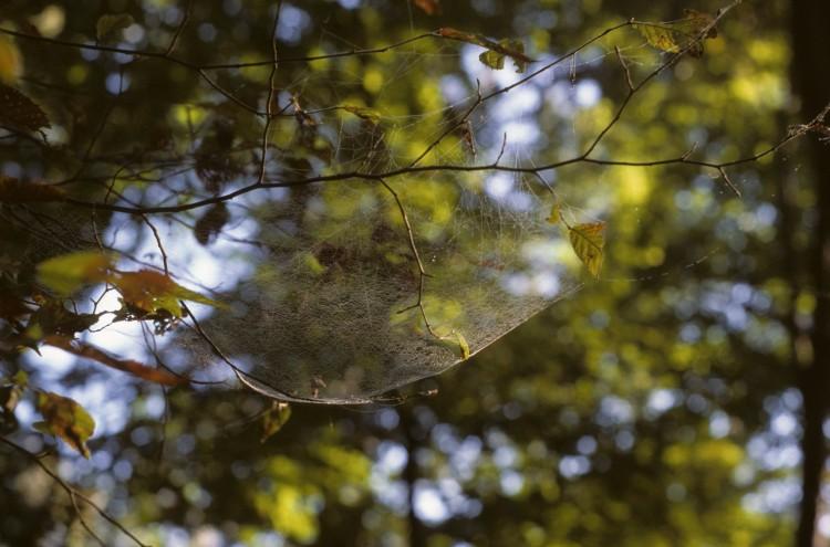 hammock spider (Pityohyphantes costatus) web