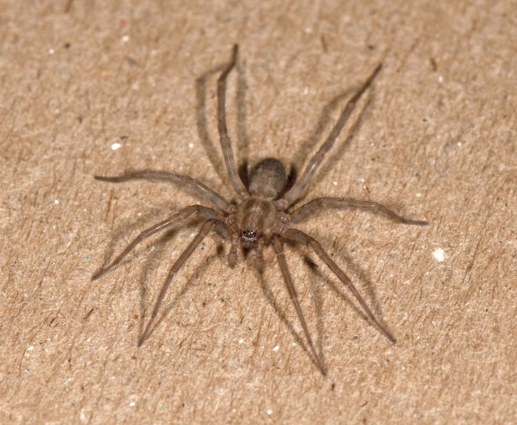 Barn Funnel Weaver (Tegenaria domestica) male