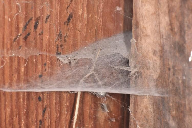 Barn Funnel Weaver (Tegenaria domestica) web