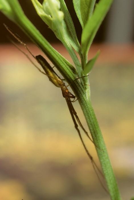 Tetragnatha pallidus female