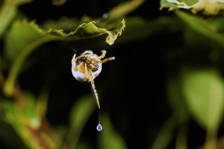 bolas spider (Mastophora hutchinsoni) hunting with her bolas