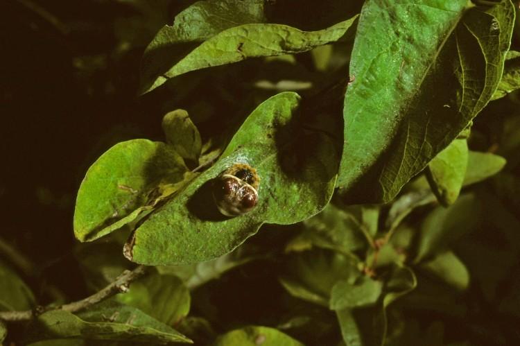 bolas spider (Mastophora hutchinsoni) resting pose