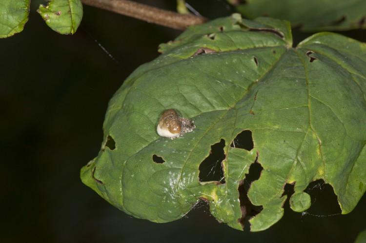 bolas spider (Mastophora phrynosoma) resting on a leaf