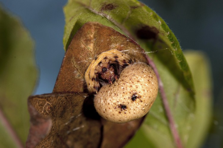 bolas spider at rest (Mastophora timuqua)
