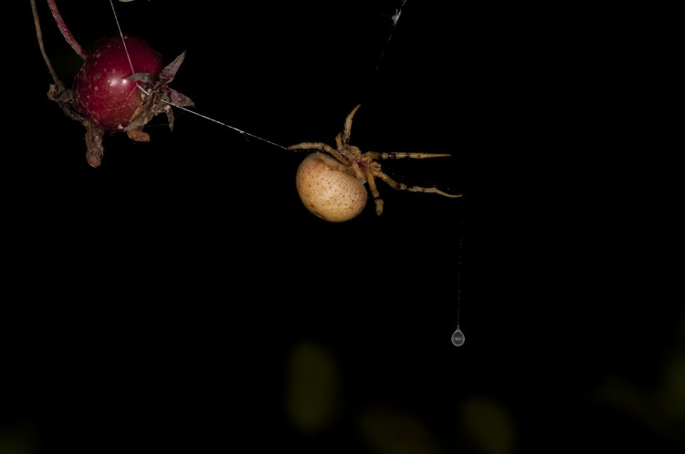 bolas spider (Mastophora timuqua) hunting with her bolas