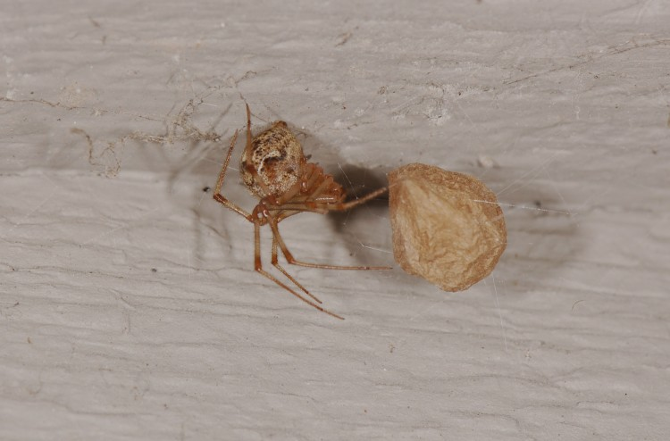 common house spider (Parasteatoda tepidariorum) with her egg case