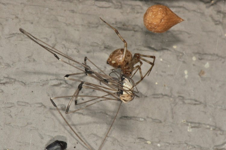 common house spider with harvestman prey