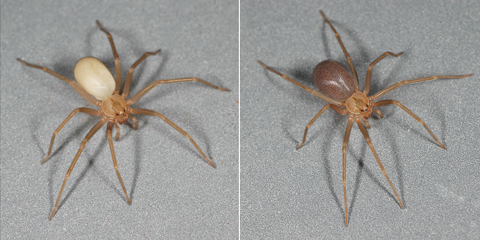 Reprinted from The Brown Recluse Spider, by Richard S. Vetter.  Copyright © 2015 by Cornell University.  Used by permission of the author, Richard S. Vetter.  All rights reserved.
