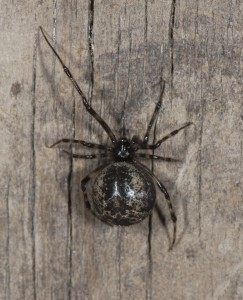 common house spider (Parasteatoda tepidariorum) dark female