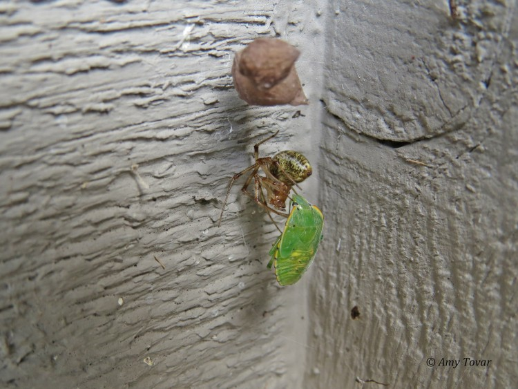 common house spider with green stink bug prey
